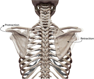 Scapula Movements